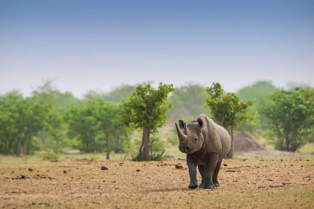 Black Rhino shutterstock_1441950815.jpg