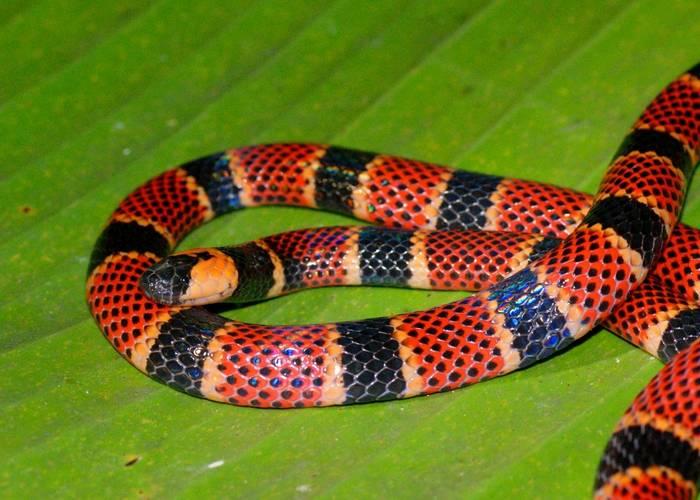 Coral Snake (Micrurus alleni)