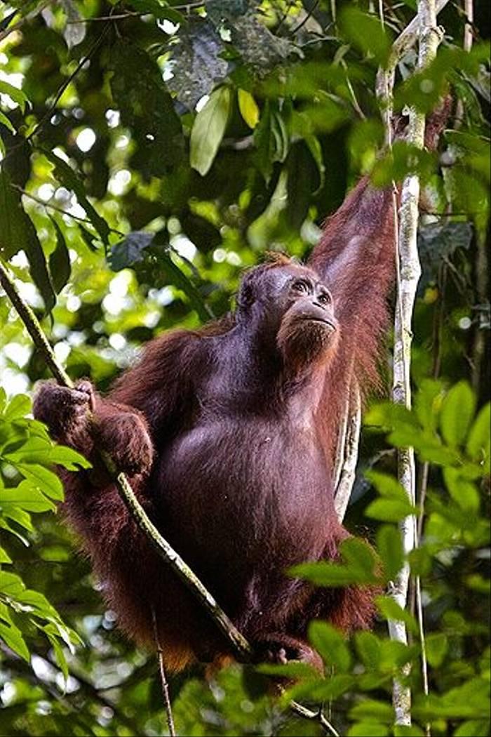 Wild Orangutan - Borneo Rainforest Lodge (Dani Free)