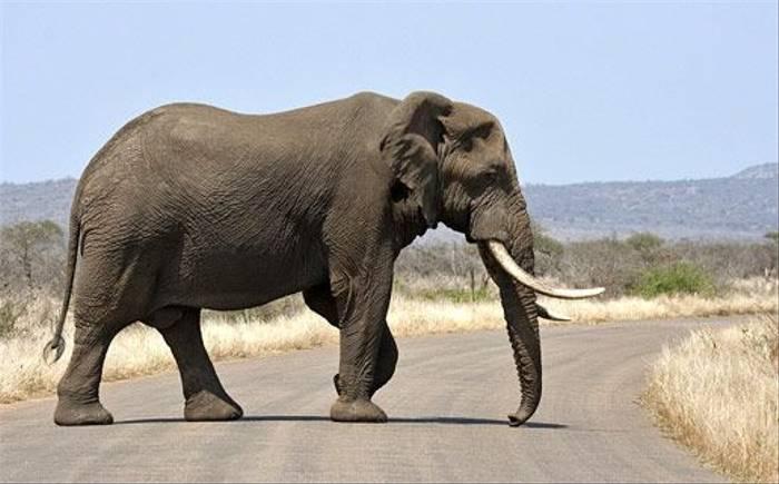 African Elephant (Leon Marais)