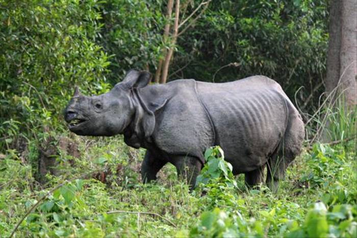 Indian One-horned Rhinoceros, Chitwan (Julian Thomas)