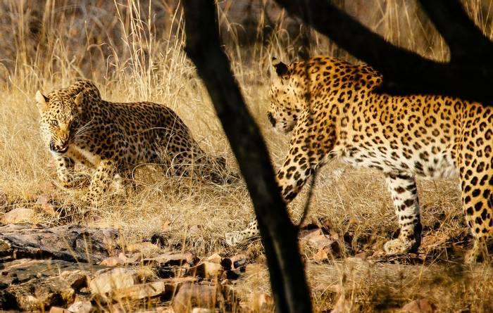 Leopard Face Off - Ranthampore  (Neil Pont)