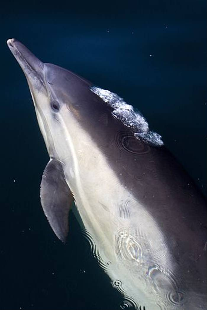 Common Dolphin (Lee Morgan)