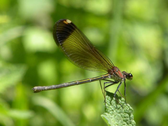 Copper Demoiselle f.jpg
