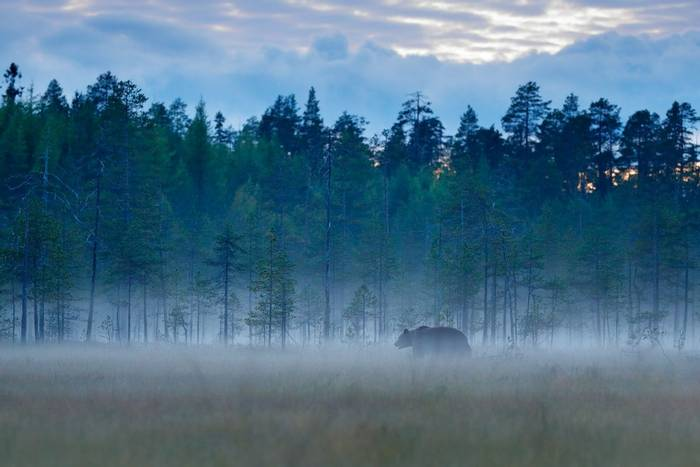 Brown Bear, Romania shutterstock_716599846.jpg