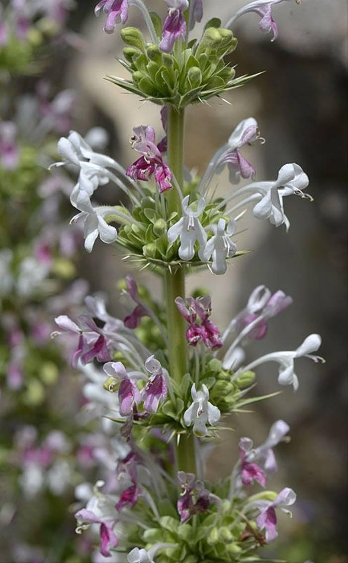 Prickly Whorlflower (Andrew Cleave)