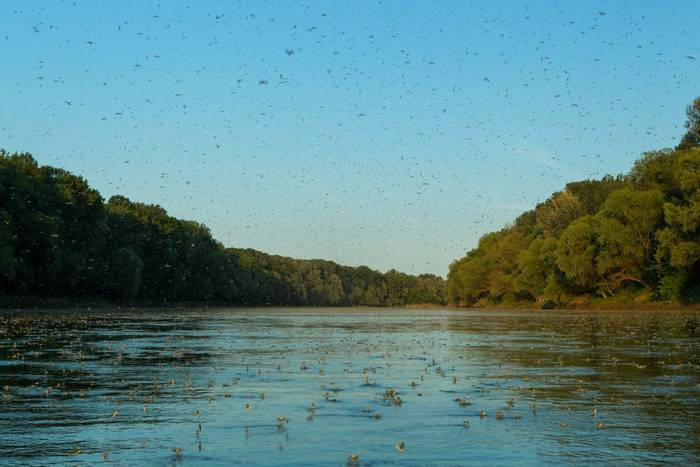 Mayflies on the Tisza River by O Smart.jpg