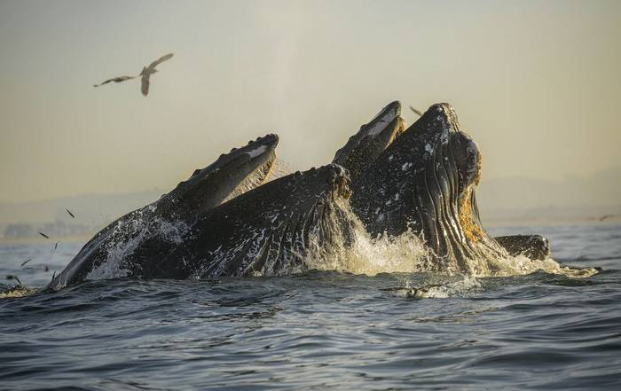 Humpback Whales, Monterey Bay Shutterstock 568895548