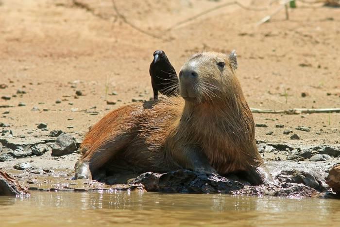Capybara & Giant Cowbird (Robert Davidson).JPG