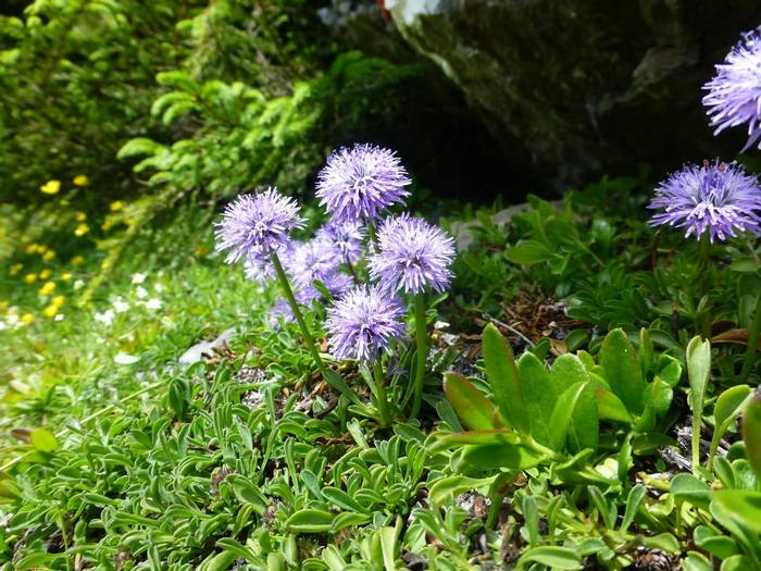 Globularia cordifolia (Matted Globularia) (Kerrie Porteous)