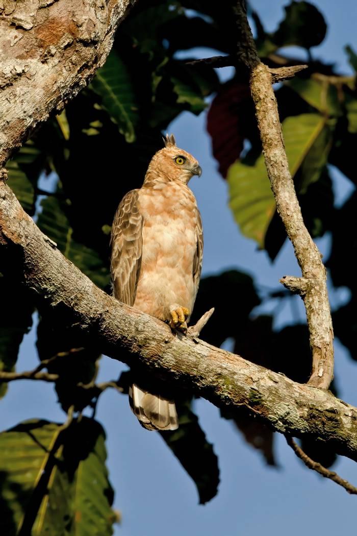 Wallace's-Hawk-Eagle,-Borneo--shutterstock_335514233.jpg