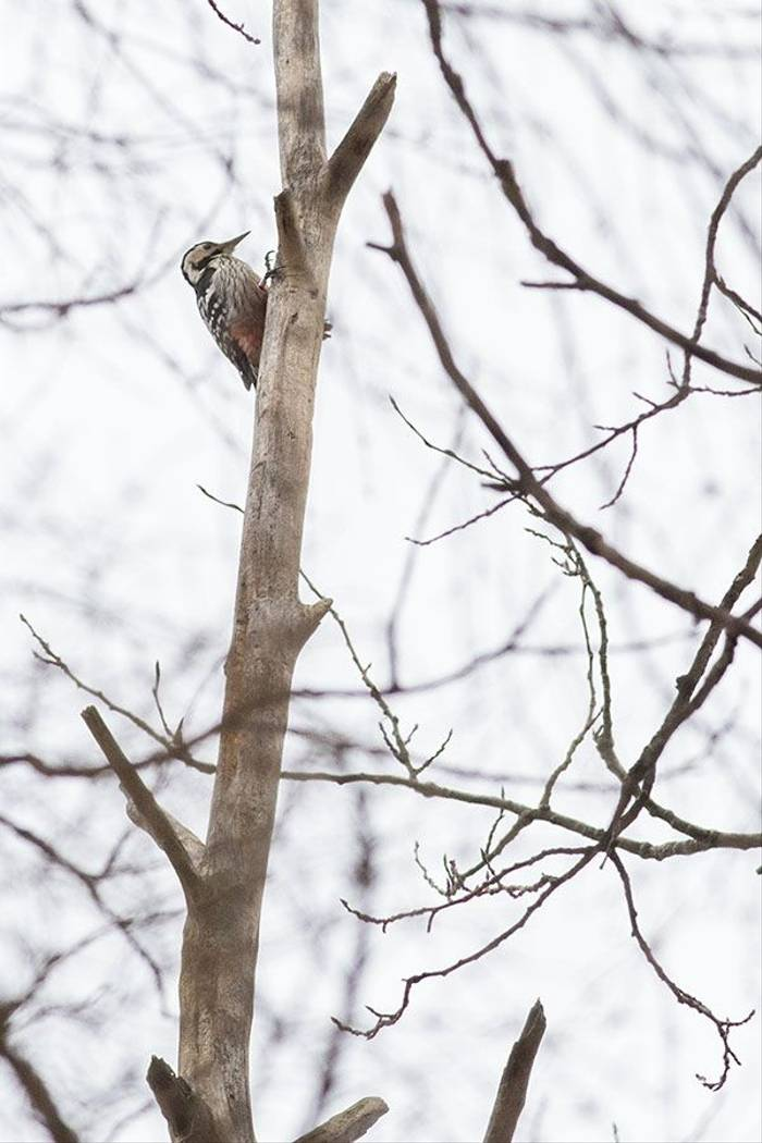 White-backed Woodpecker (Rob Daw)