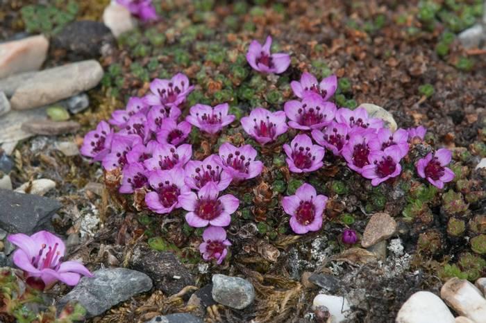 Purple Saxifrage (Paul Stanbury).jpg