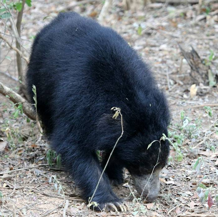 Sloth Bear (Karen Malte Nielsen)