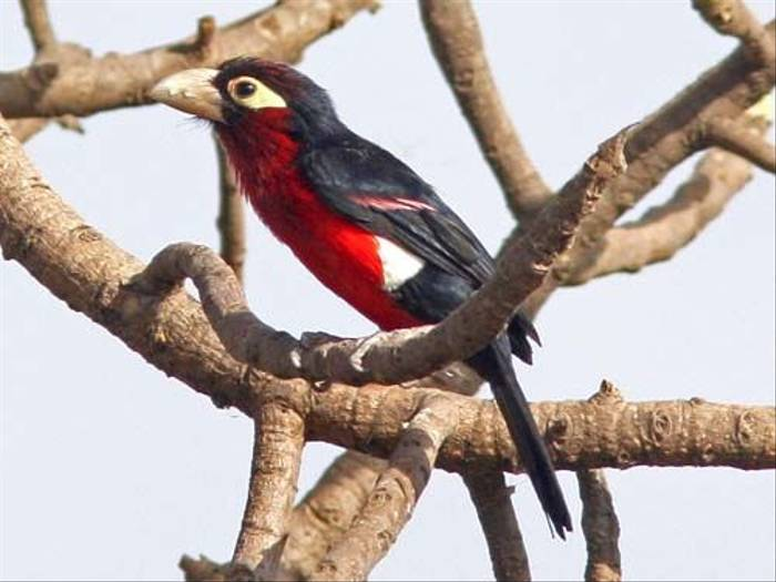 Double-toothed Barbet (Julia Casson)