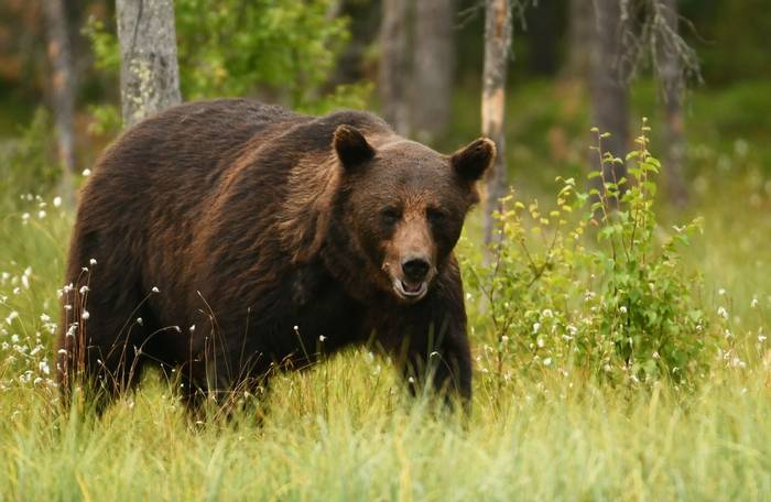 Brown Bear Sweden shutterstock_698170621.jpg