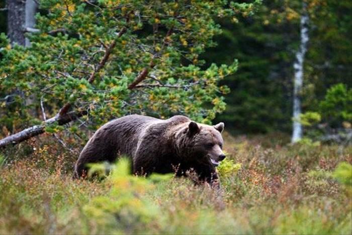 Brown Bear (Hakan Vargas)