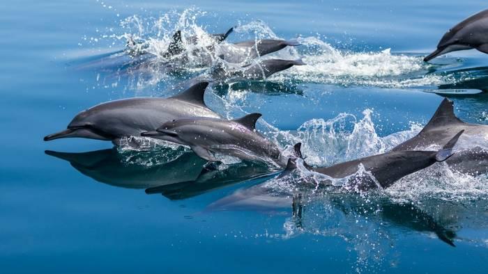 Spinner Dolphins, Raja Ampat, Indonesia shutterstock_515314846.jpg