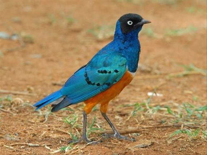 Superb Starling (David Mercer)