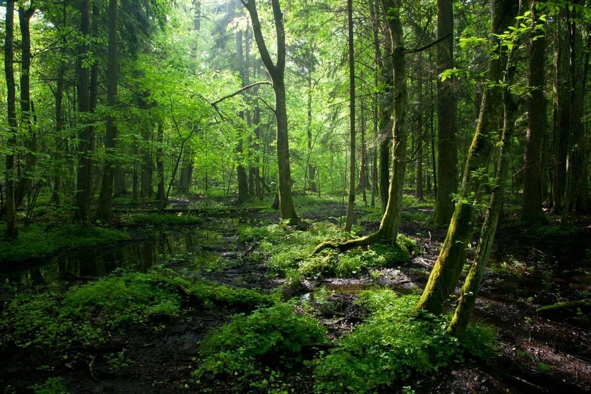 Bialowieza Forest shutterstock_77762962.jpg