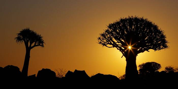 Quiver Trees (Aloe Dichotoma) Silhouetted At Sunset, Keetmanshoop © R Harvey