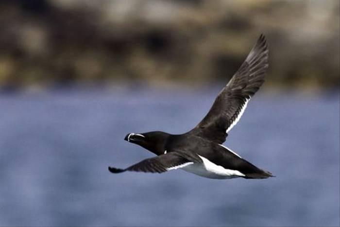 Razorbill (Colin Brown)