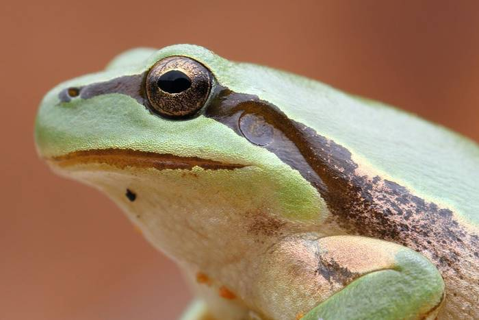 Stripeless Tree Frog (Hyla meridionalis) - Dan Kane