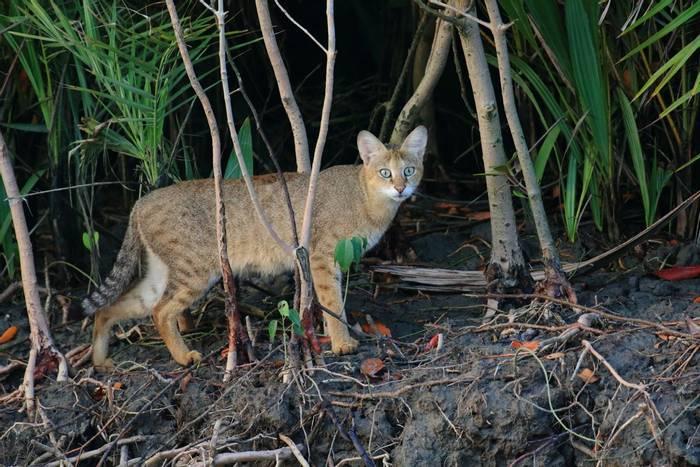 Jungle Cat (Sujan Chatterjee)