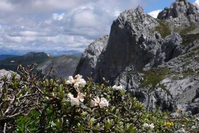 Rhododendron primulaeflorum - 4400m, Shika Mountain, Zongdian (Phillipe de Spoelberch)