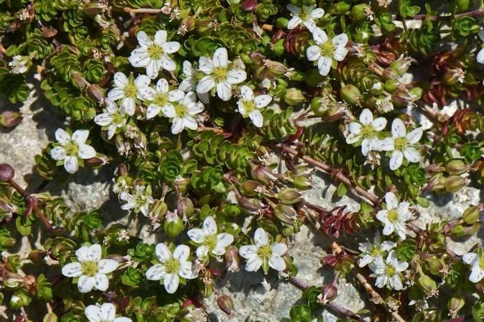 Two-flowered Sandwort (Arenaria biflora)