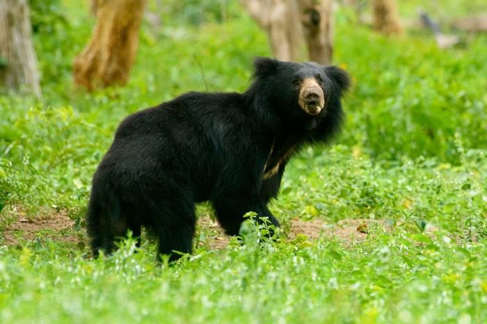 Sloth-Bear,-India-shutterstock_1225872823.jpg