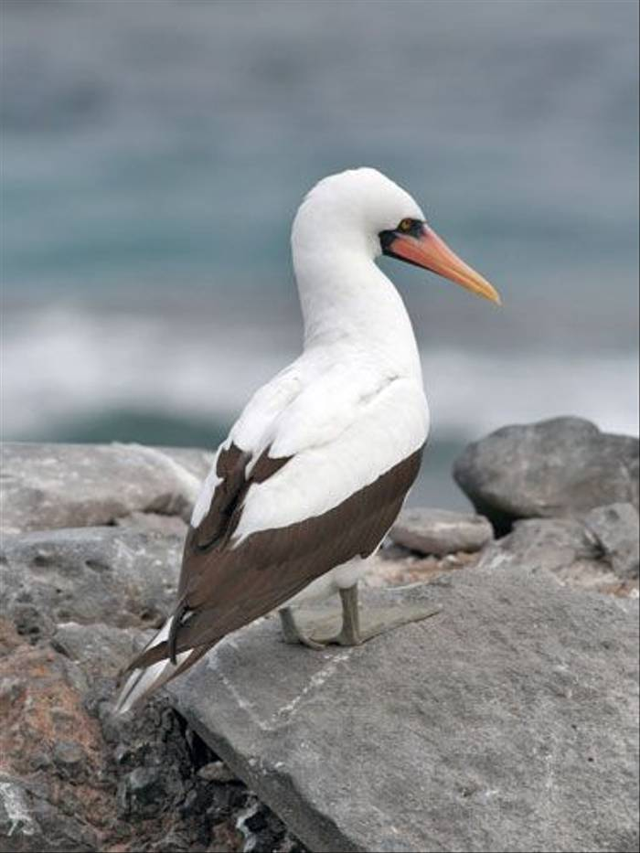 Nazca Booby (John Willsher)