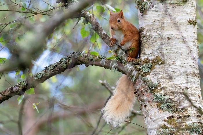 Red Squirrel, Scotland shutterstock_1436153330.jpg