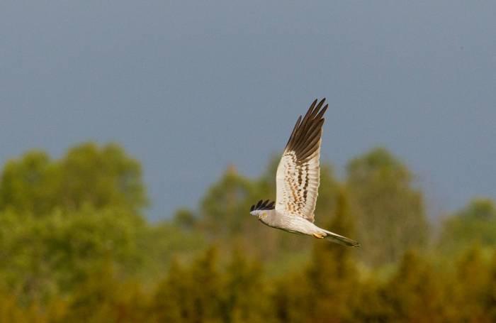 Montagu's Harrier (Mati Kose)