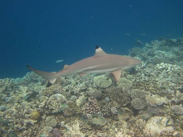 Blacktip Reef Shark (John Stannard)