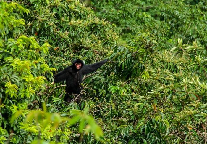 Black Spider Monkey, Rupununi, Guyana shutterstock_1416675230.jpg