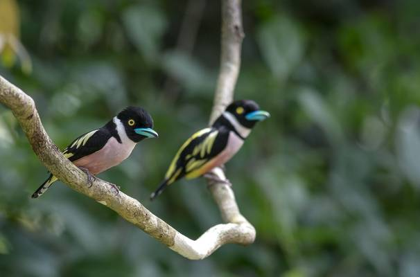 Black And Yellow Broadbill, Malaysia Shutterstock 788572564