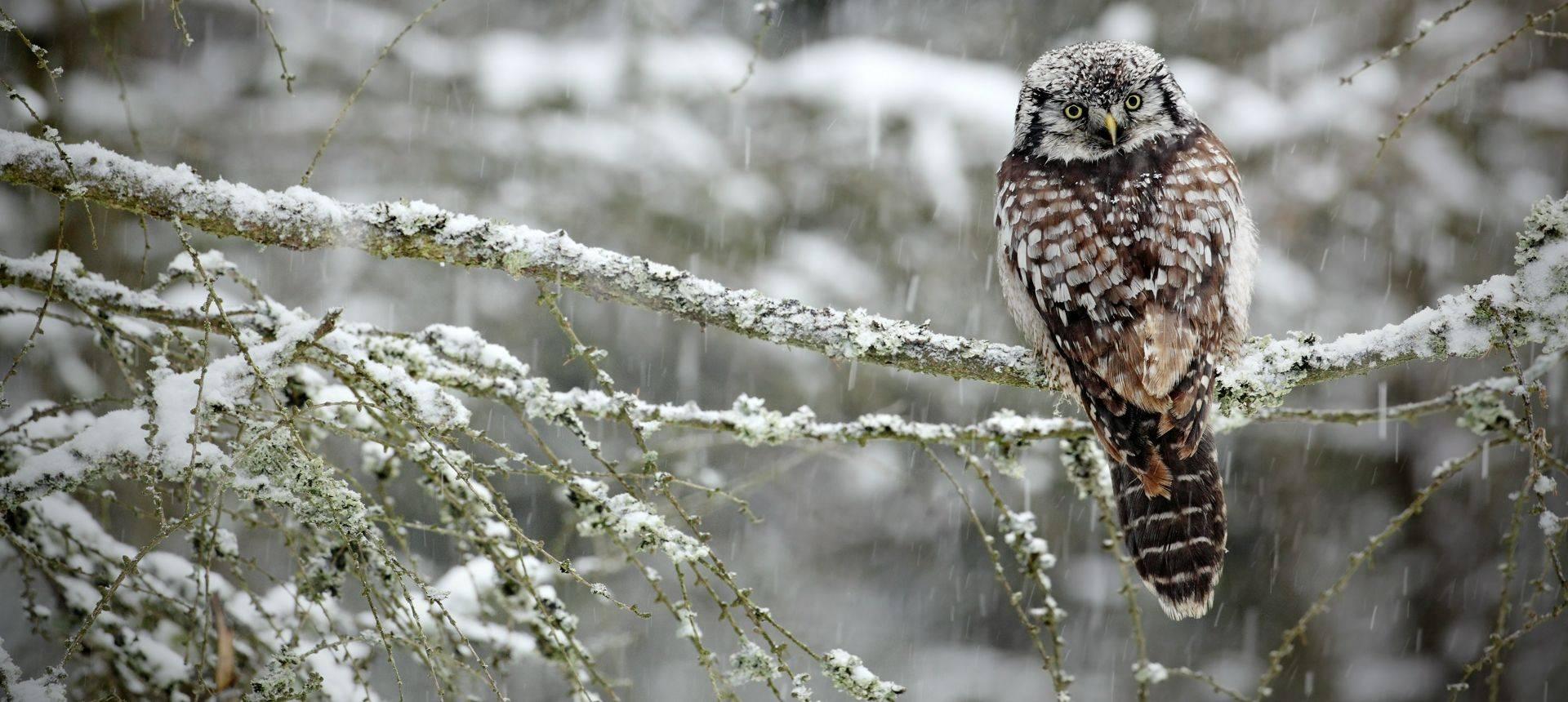 Hawk Owl, Sweden Shutterstock 237402130