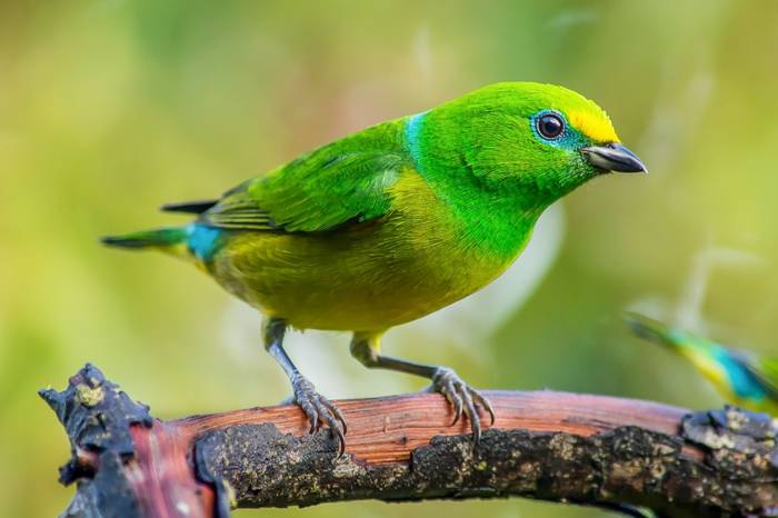 Blue-naped Chlorophonia by Ferney Salgado