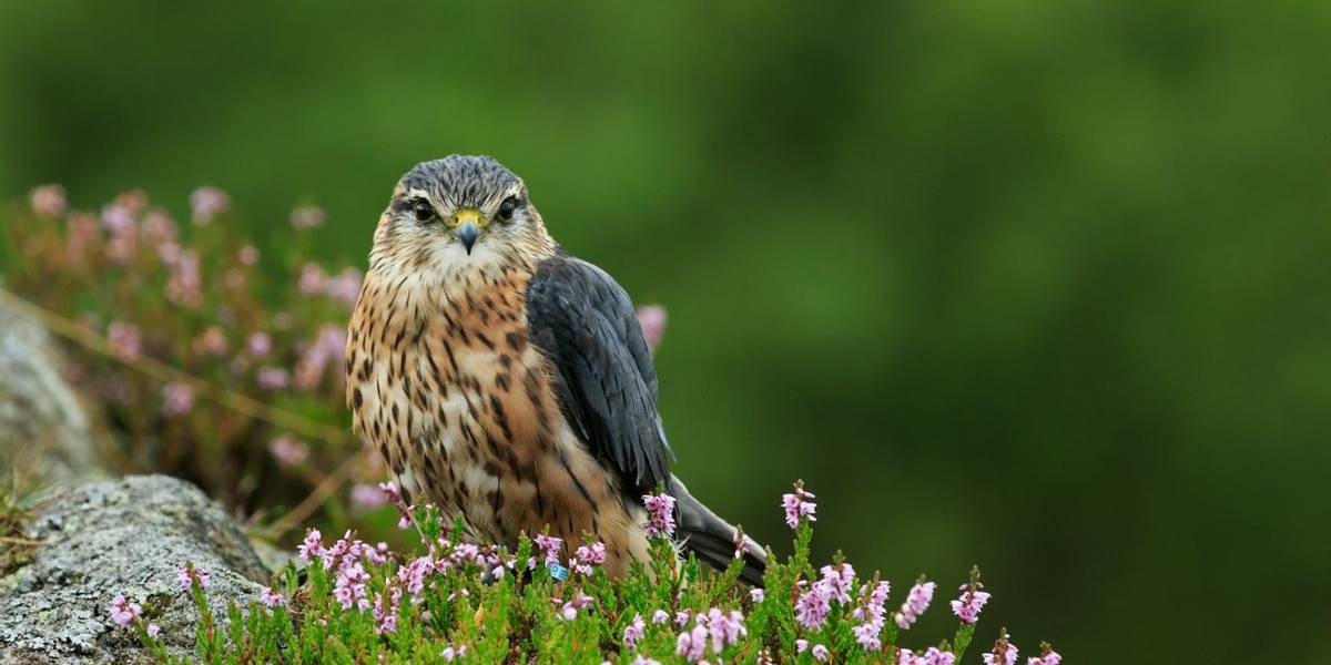 Merlin (Falco columbarius) North Yorkshire,England,September,2015