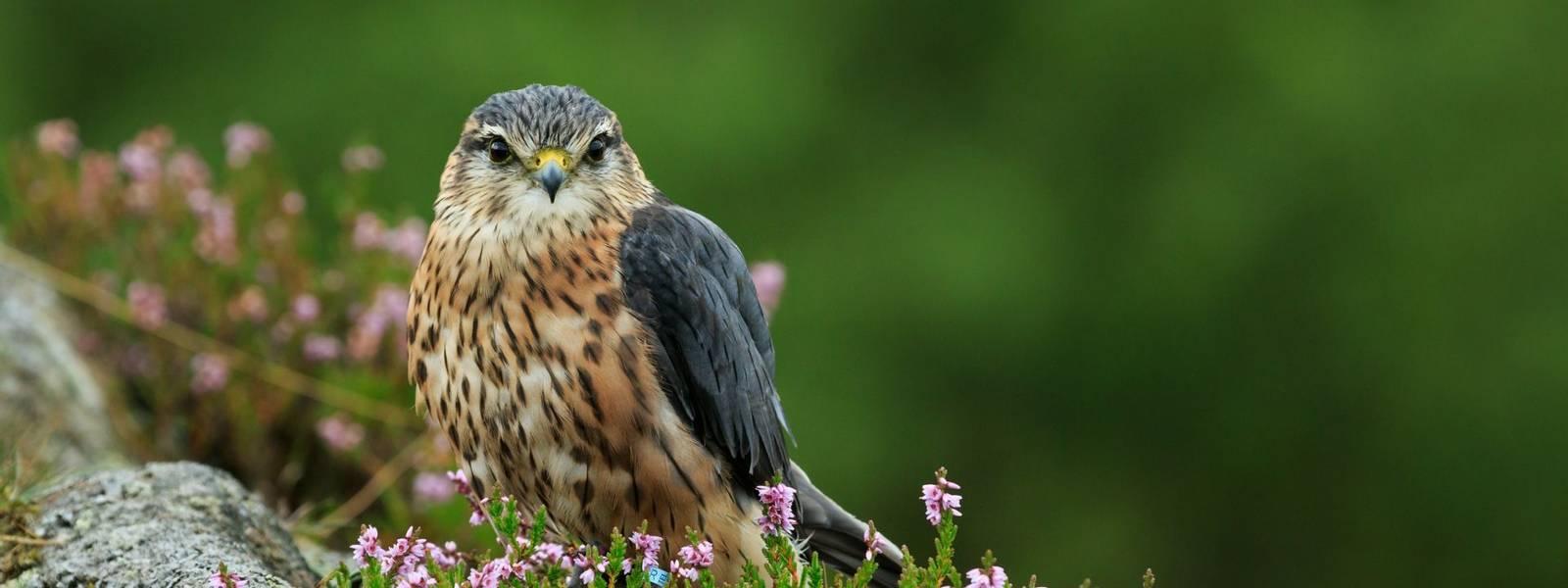 Merlin (Falco columbarius) North Yorkshire,England,September,2015