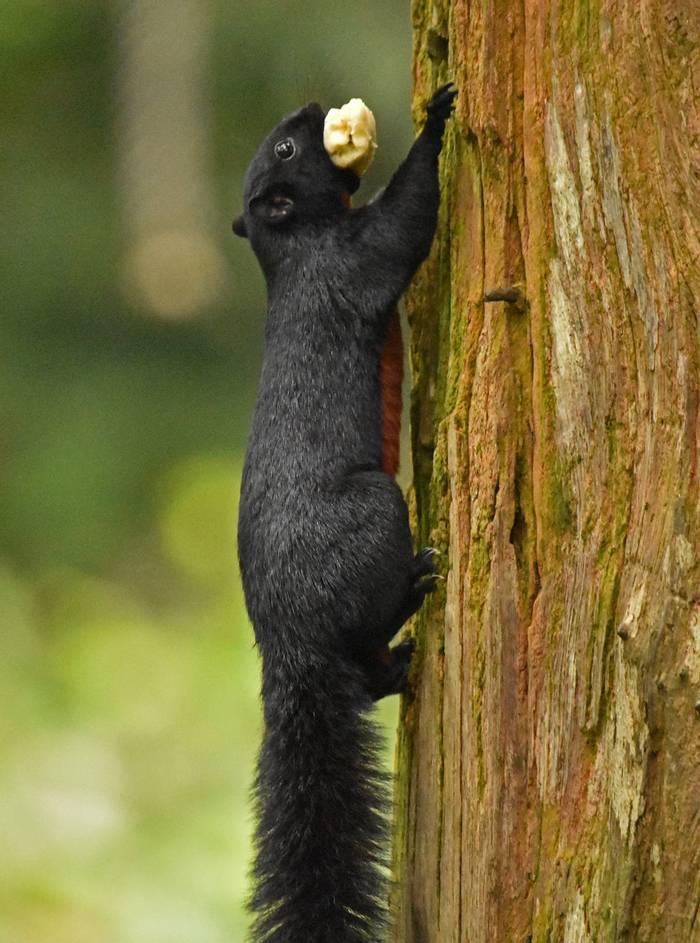 Temminck's Flying Squirrel (Lesley Hawkins)