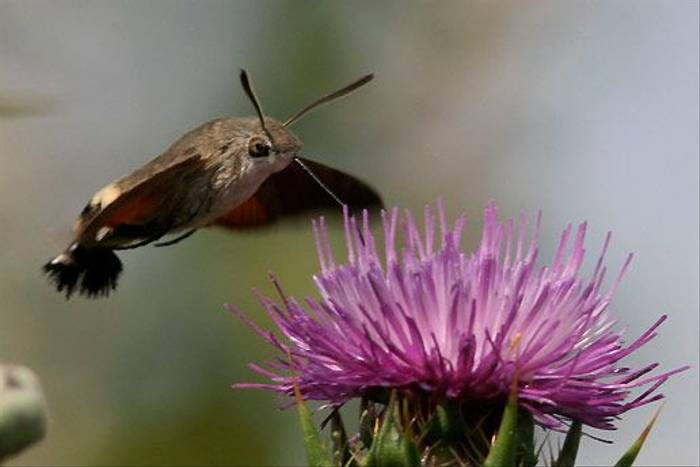Hummingbird Hawk-moth (Peter Dunn)