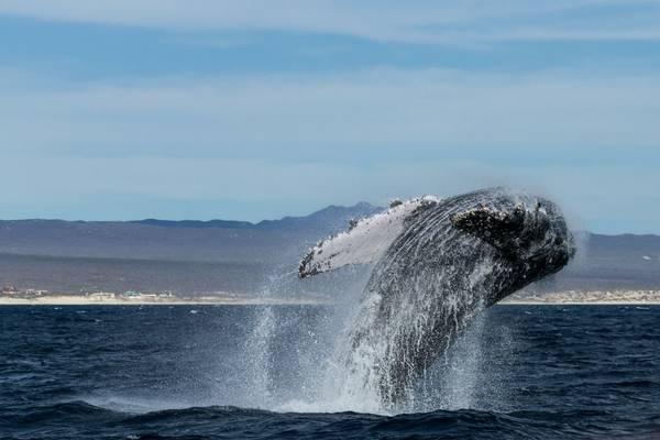 Humpback Whale (Nikki Humphrey)