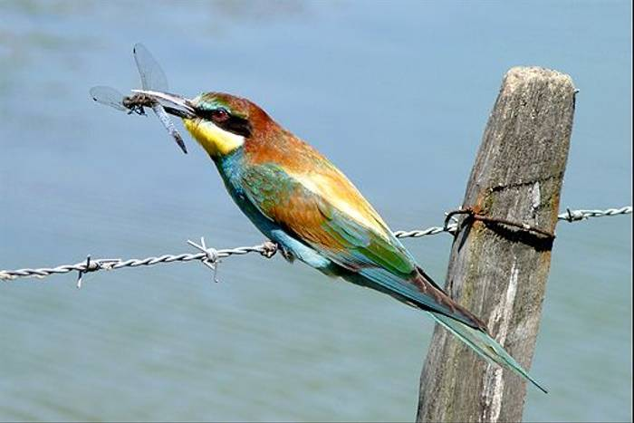 European Bee-eater with Black-tailed Skimmer (Dave Smallshire)