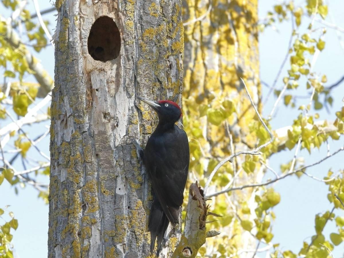 Black Woodpecker (Kevin Elsby)