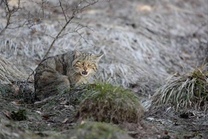 Wildcat, Navarra (Dominic Boyer)