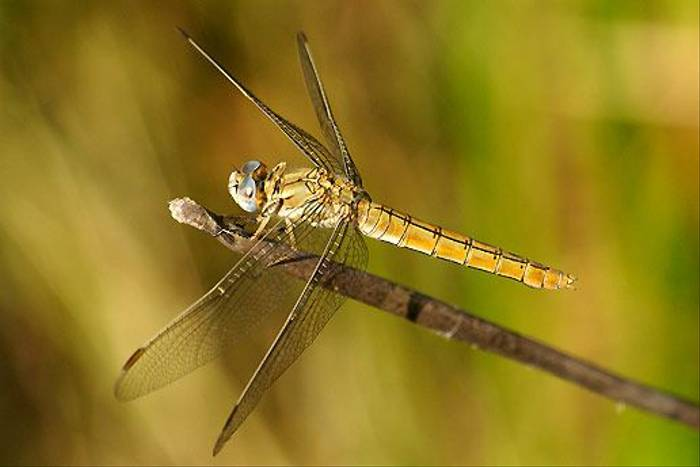Southern Skimmer (f) (Ian McColl)