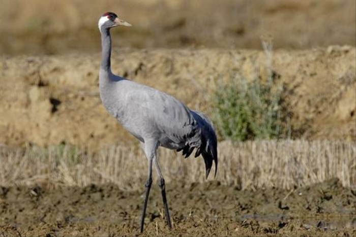 Common Crane (Steve Fletcher)