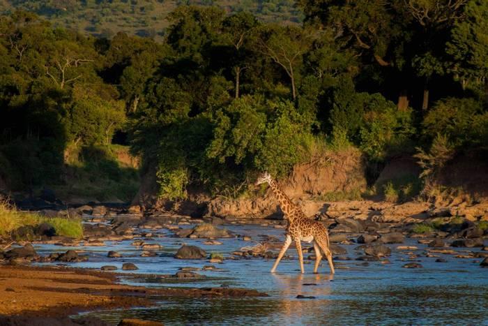 Masai Giraffe (John Haskew).jpg